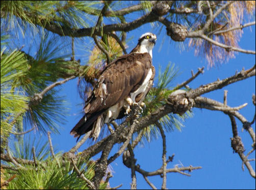 discuss ways in which the osprey This is your chance to own one of osprey's most exclusive addresses in the 642 crane prairie way osprey they can join your search, rate and discuss.
